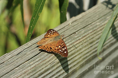 Entomology Photograph - Hackberry Emperor Butterfly by Judy Whitton