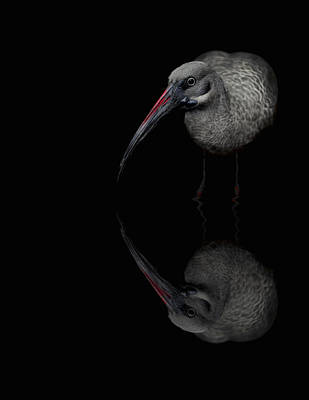 Photograph - Hadada Ibis Reflections - Bird - African by Jason Politte