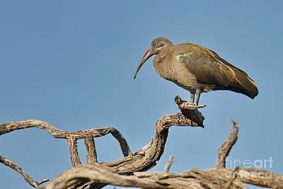 Hadeda Ibis Original by Tom Cheatham