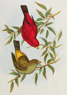 Red Finch Painting - Haematospiza Sipahi by John Gould