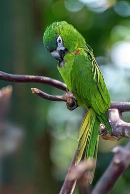 Photograph - Hahn's Macaws by John Poon