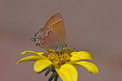 Insect Photograph - Hairstreak Butterfly by Gary Wing