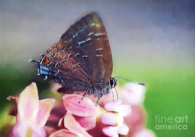 Photograph - Hairstreak Butterfly by Kerri Farley