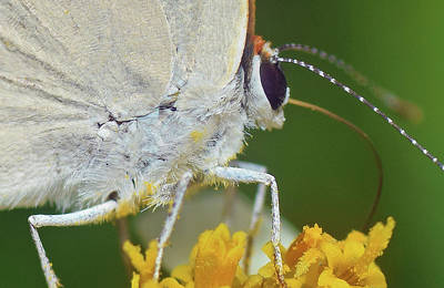Photograph - Hairstreak Closeup by Larah McElroy