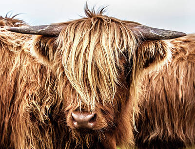 Photograph - Hairy Coo by John Frid
