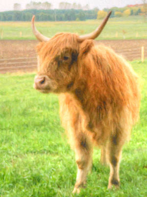 Photograph - Hairy Coos by Garvin Hunter