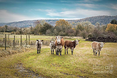Photograph - Hairy Herd Of Catttle by Antony McAulay