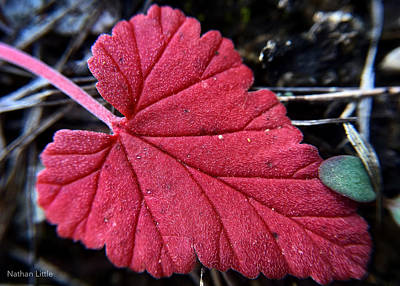 Photograph - Hairy Red Leaf by Nathan Little