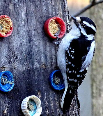 Photograph - Hairy Woodpecker by Amanda Balough