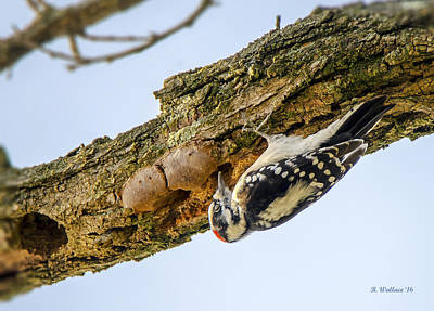 Hairy Woodpecker Photograph - Hairy Woodpecker by Brian Wallace