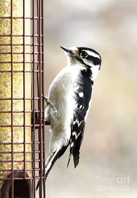 Photograph - Hairy Woodpecker by Cindy Schneider