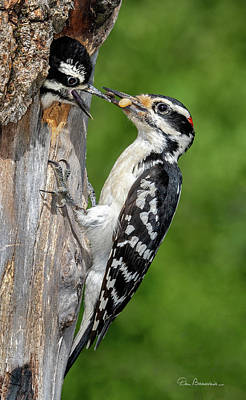 Photograph - Hairy Woodpecker Feeding Chick 5011 by Dan Beauvais