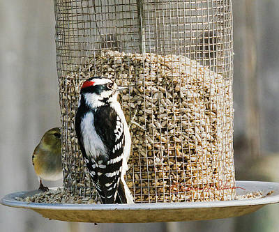 Photograph - Hairy Woodpecker Feeding by Edward Peterson