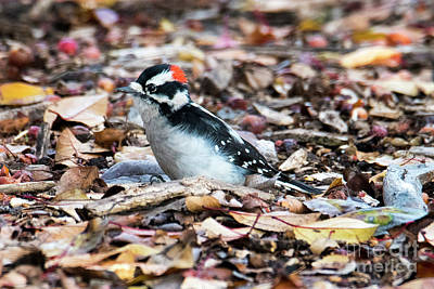 Woodpecker Wall Art - Photograph - Hairy Woodpecker by Mike Dawson