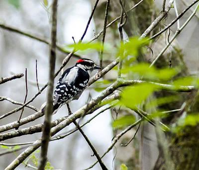 Hairy Woodpecker Photograph - Hairy Woodpecker by Norman Johnson