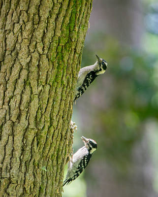 Hairy Woodpecker Photograph - Hairy Woodpecker Pair by Alicia Collins