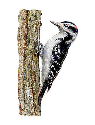 Digital Art - Hairy Woodpecker by Yuichi Tanabe