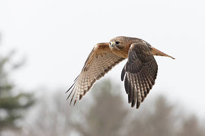 Photograph - Hal Takes Flight by Brian Hale