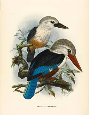 Kingfisher Drawing - Halcyon Erythrogastra by John Gerrard Keulemans