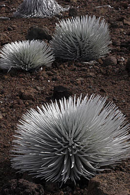 Haleakala Silverswords Art Print