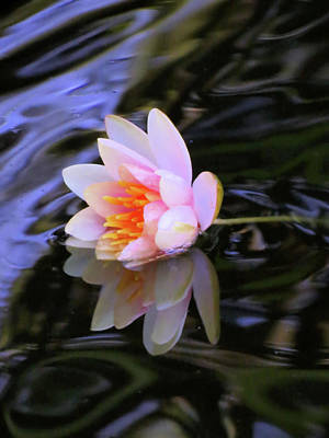 Photograph - Half In - Water Lily by MTBobbins Photography