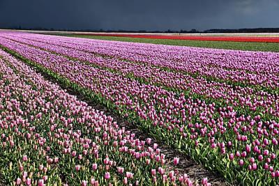 Half Side Purple Tulip Field Art Print by Mihaela Pater