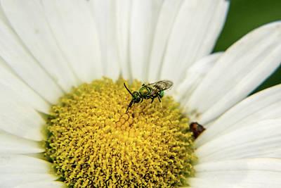 Photograph - Halicid Bee Feeding On Daisy Nectar And Pollen by Douglas Barnett