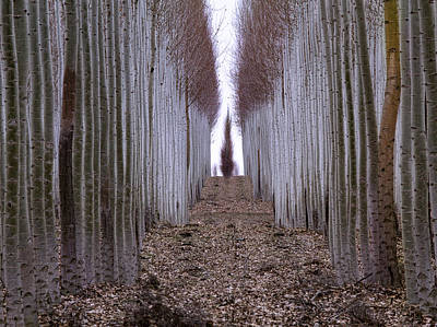 Photograph - Hall Of Poplars by Jean Noren