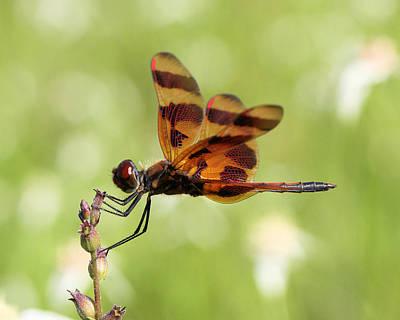 Celithemis Eponina Photograph - Halloween Pennant Dragonfly by Doris Potter