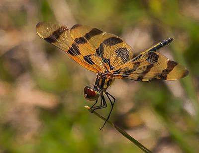 Celithemis Eponina Photograph - Halloween Pennant Dragonfly by Edelberto Cabrera