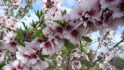 Photograph - Halo - Almond Tree In Flower by Elena Schaelike