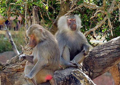 Photograph - Hamadrayas Baboons by Tony Brown