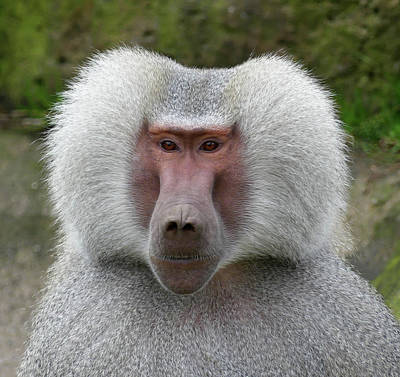 Photograph - Hamadryas Baboon Leader by Margaret Saheed