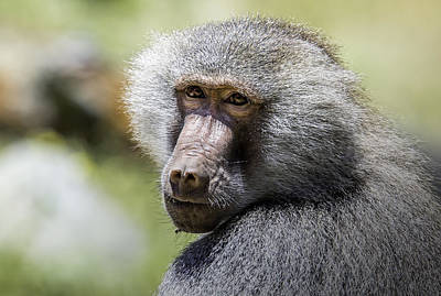Staff Picks Judy Bernier Rights Managed Images - Hamadryas Baboon Royalty-Free Image by Levana Sietses