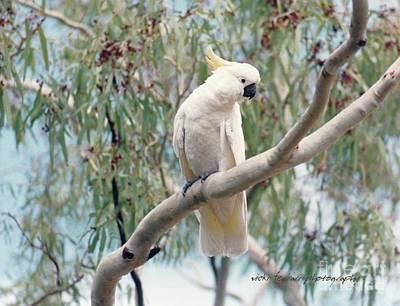 Photograph - Hamilton Island Cockatoo by Vicki Ferrari