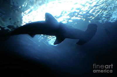 Photograph - Hammerhead Shark--sphyrna Lewini--in Silhouette by Rick Bures