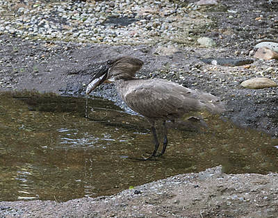 Photograph - Hammerkop Caught A Fish by William Bitman
