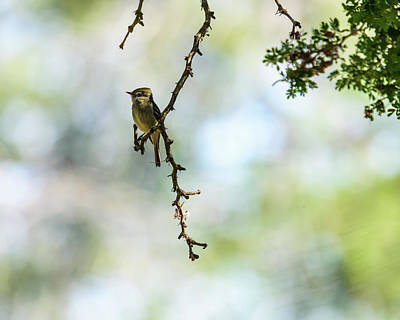 Photograph - Hammond's Flycatcher   by Debra Martz