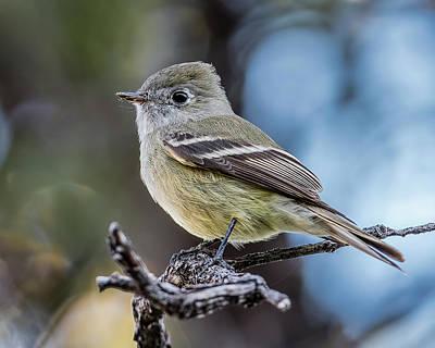 Coronado National Forest Photograph - Hammond's Flycatcher by Morris Finkelstein