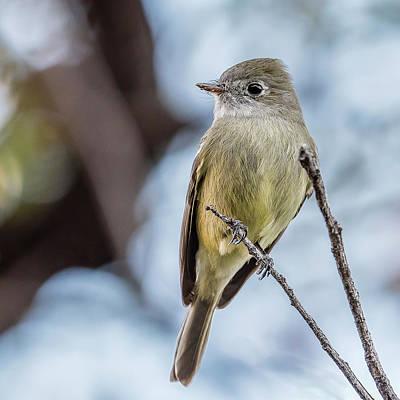 Coronado National Forest Photograph - Hammond's Flycatcher Perched by Morris Finkelstein