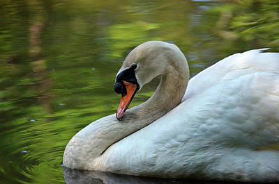 Hammy Swan Art Print