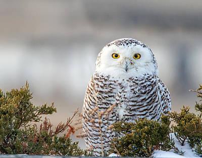 Hampton Beach Nh Snowy Owl Art Print