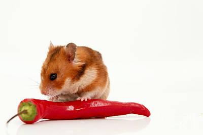 Hamster Eating A Red Hot Pepper Art Print by Yedidya yos mizrachi