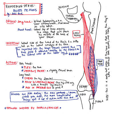 Drawing - Hamstring Series Biceps Femoris by Julie Read