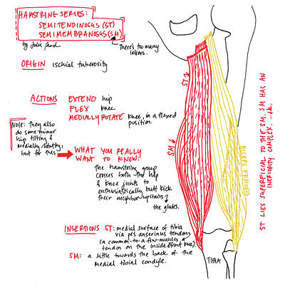 Drawing - Hamstring Series Part 2 by Julie Read