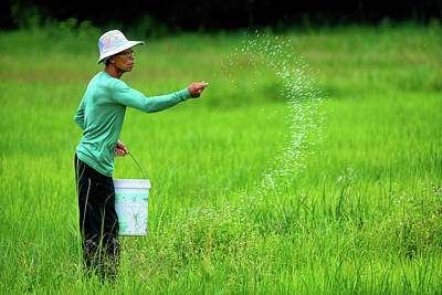 Lee Craker Royalty-Free and Rights-Managed Images - Hand Fertilizing Rice by Lee Craker