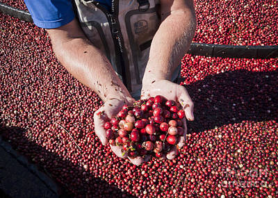 Photograph - Handful Of Cranberries by Chris Dutton