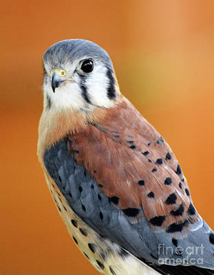 Photograph - Handsome American Kestrel by Kathy Kelly