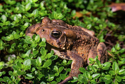 Photograph - Handsome Bufo Toad by Douglas Barnett