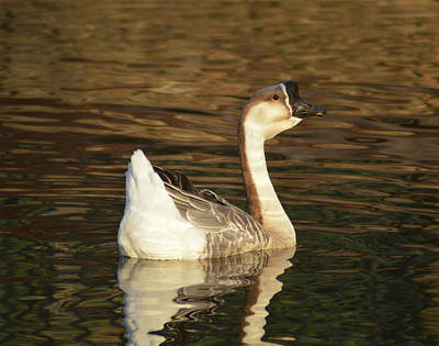 Photograph - Handsome Domesticated Swan Goose by Kathy Kelly